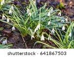 bushes of white snowdrop ... | Shutterstock . vector #641867503