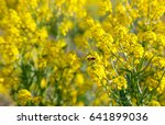 Field With Yellow Flowers. In...
