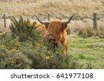 Highland Cow  Behind A Gorse...