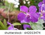 Purple Vanda Orchid Flower