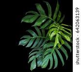 green leaves of monstera... | Shutterstock . vector #642063139