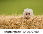 barn owl  tyto alba  is the... | Shutterstock . vector #642072700