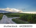 green corn growing on the hill... | Shutterstock . vector #642083053