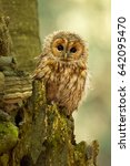 tawny owl or brown owl  strix... | Shutterstock . vector #642095470