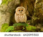 tawny owl or brown owl  strix... | Shutterstock . vector #642095503