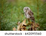Tawny Owl Or Brown Owl  Strix...