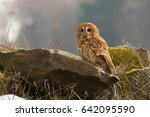 tawny owl or brown owl  strix... | Shutterstock . vector #642095590