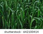 wheat field  field of wheat ... | Shutterstock . vector #642100414