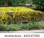 Hardy Yellow Ice Plant  ...