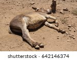 An Adult Donkey Is Lying On Th...