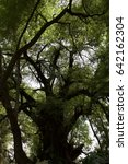 Small photo of Ahuehuete branches, Cypress tree
