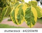 green leaves yellow. | Shutterstock . vector #642203698