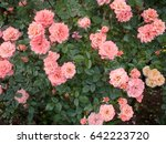 Stock photo pink roses in the garden 642223720