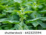 Urtica Dioica  Often Called...