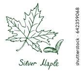silver maple  acer saccharinum  ...