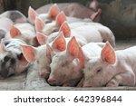 Piglet Sleeping On The Farm...