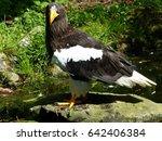 Small photo of Steller's sea eagle (Haliaeetus pelagicus) Accipitridae family