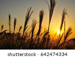 reed sunset   reed sunset | Shutterstock . vector #642474334