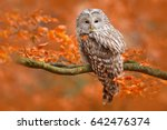 autumn in nature with owl. ural ... | Shutterstock . vector #642476374