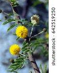 Small photo of Vachellia farnesiana, Acacia farnesiana, Mimosa farnesiana