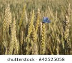 small blue butterfly on wheat... | Shutterstock . vector #642525058