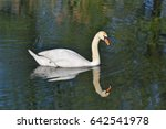 swan swimming on the river with ... | Shutterstock . vector #642541978