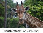 giraffe head looking in green... | Shutterstock . vector #642543754