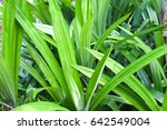 pandan leaves | Shutterstock . vector #642549004