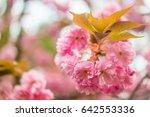 sakura. cherry blossom in... | Shutterstock . vector #642553336