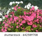 Pink and white azalea flowers in flowerbed - stock photo