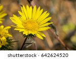Great Valley Gumweed  Great...