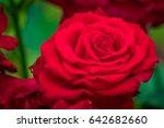 Stock photo a beautiful roses taken from botanical garden 642682660