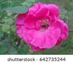 Bee in rose flower                                - stock photo