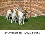 Three Borzoi Dogs Stand At An...