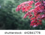 red maple leaves in a raining... | Shutterstock . vector #642861778