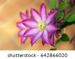 pink and white clematis flower... | Shutterstock . vector #642866020