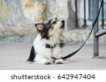 a small black and white dog... | Shutterstock . vector #642947404