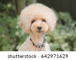 Stock photo toy poodle 642971629