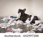Stock photo funny dog made a mess in the room playful puppy french bulldog 642997288