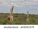 wild giraffe mammal africa... | Shutterstock . vector #643041370