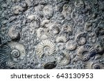 Closeup of agglomeration of ancient extinct ammonite fossils in rock with pyrite