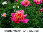 Small photo of peonies in natural background, gay paree