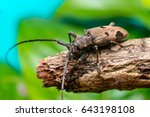 Small photo of Aeriel view of brown Spined Oak Borer Longhorn Beetle (Arthropoda: Insecta: Coleoptera: Cerambycidae: Elaphidion mucronatum) crawling on a tree branch isolated with buttery, smooth, green background