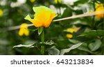 beautiful single yellow rose... | Shutterstock . vector #643213834