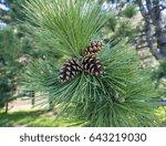Closeup Of Branch Of Pine Tree...