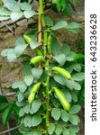 Small photo of Broad Bean Imperial green Longood growing in the garden