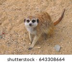 The Meerkat Or Suricate Is A...