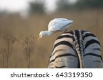 A White Cattle Egret Leaning...