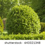 Privet Hedge Beautiful Round...