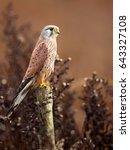 Common Kestrel  Falco...